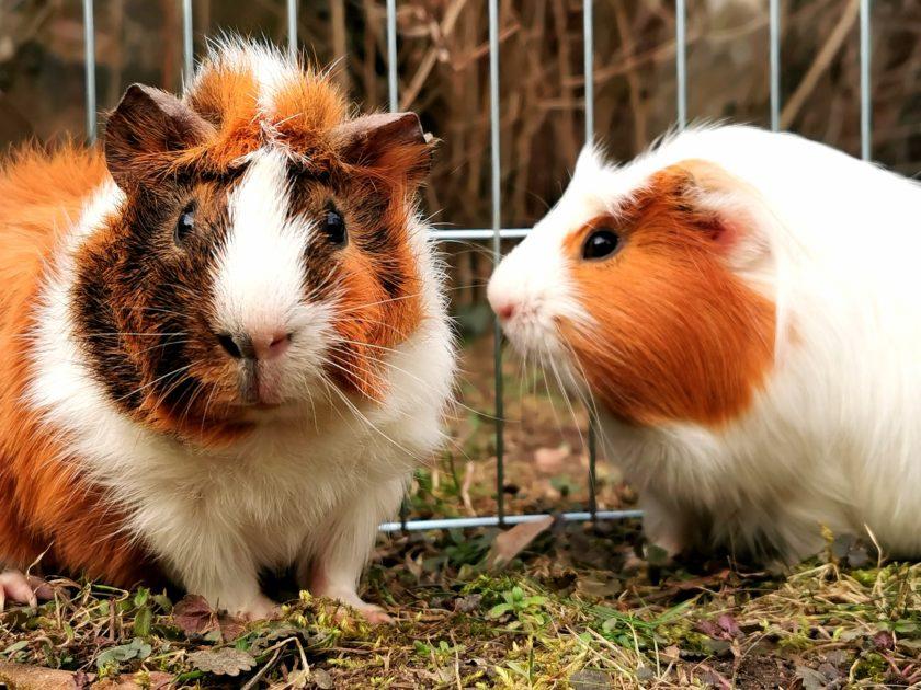 Meerschweinchen als Haustiere für Kinder